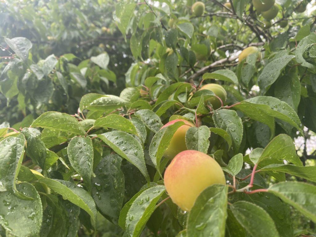 早稲田神社の梅の実